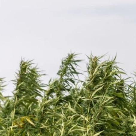 Wisconsin taking applications to grow industrial hemp