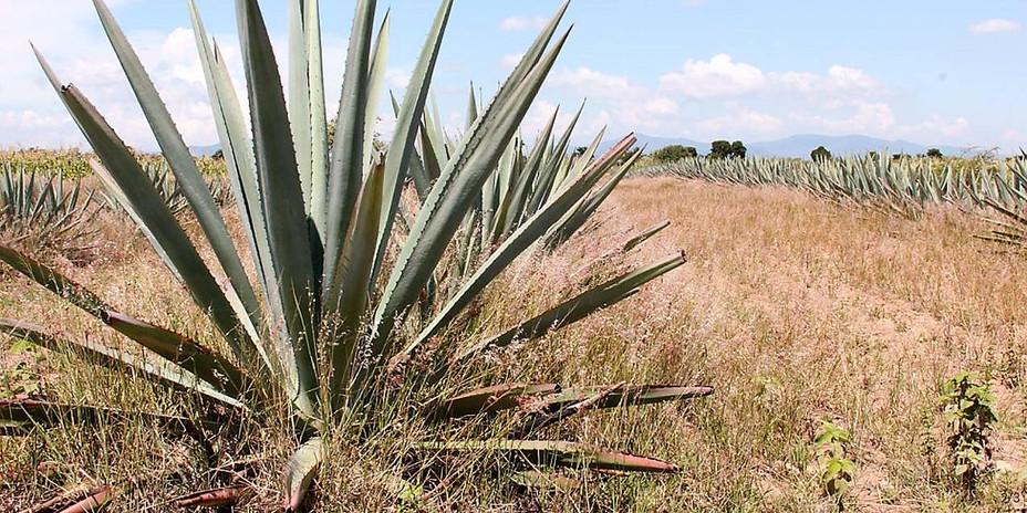 Imagen_Agave_Espad°n_en_Oaxaca.jpg