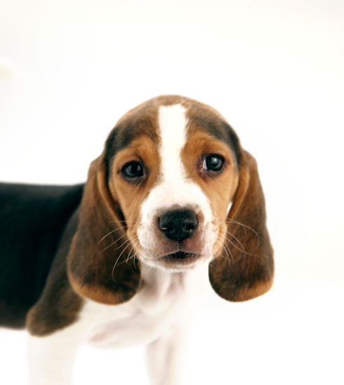 Beagle%20Puppy_edited.jpg