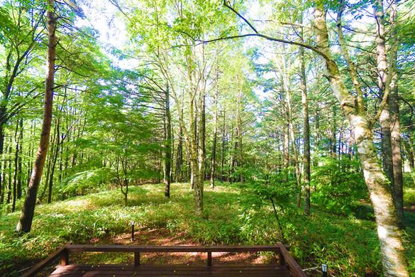 白樺の大木が心地よい木漏れ日を作る、美しい森