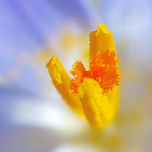 krokus bloem voorjaar lente paars geel stuifmeel