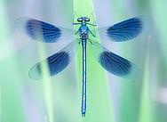 weidebeekjuffer-calopteryx-splendens-chr