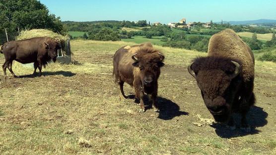 Ferme aux bisons