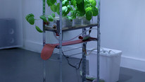 Hydroponic Basilbot 2018  100 x 15 x 60 cm  Steel, rubber, perspex, brass, fluorescent lights, nutrient solution, basil plants.