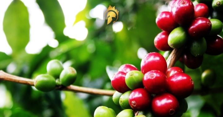 Vietnamese Coffee Farmer