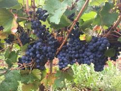 Malbec Grapes