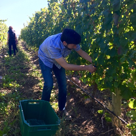 Harvesting Malbec Grapes