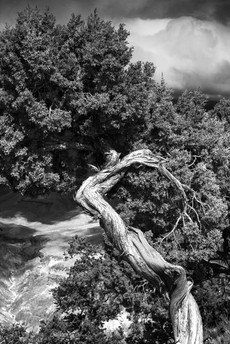 Tree at Moran Point