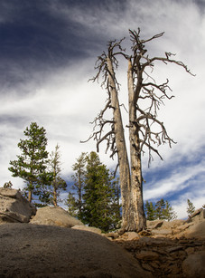 Tree in Mount San Jacinto State Park