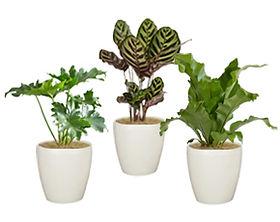 観葉植物Sサイズ、セローム、マコヤナ、アビス