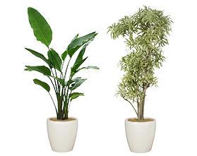 観葉植物 オーガスタ ソングオブインディオ