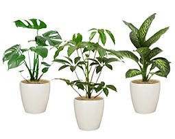 Mサイズの観葉植物、モンステラ、カポック、カミーラ