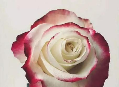 ♡羽美花藝♡雙色玫瑰♡