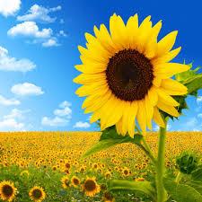花語之向日葵