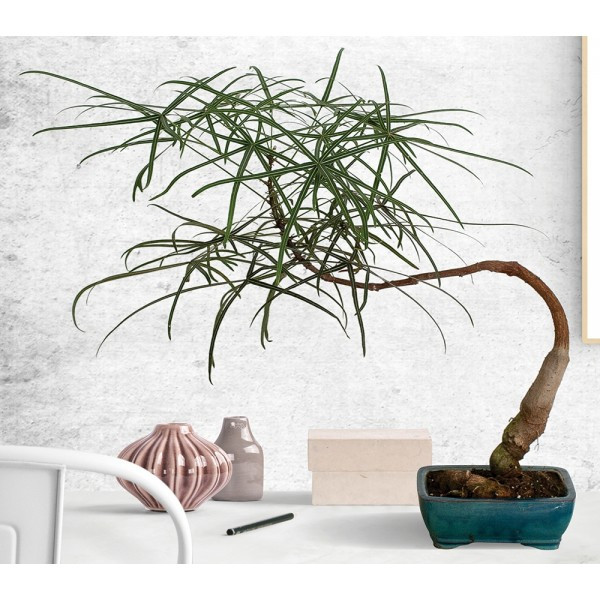 Brachychiton Rupestri, Australian Bottle Tree, Bonsai Tree, Indoor Trees
