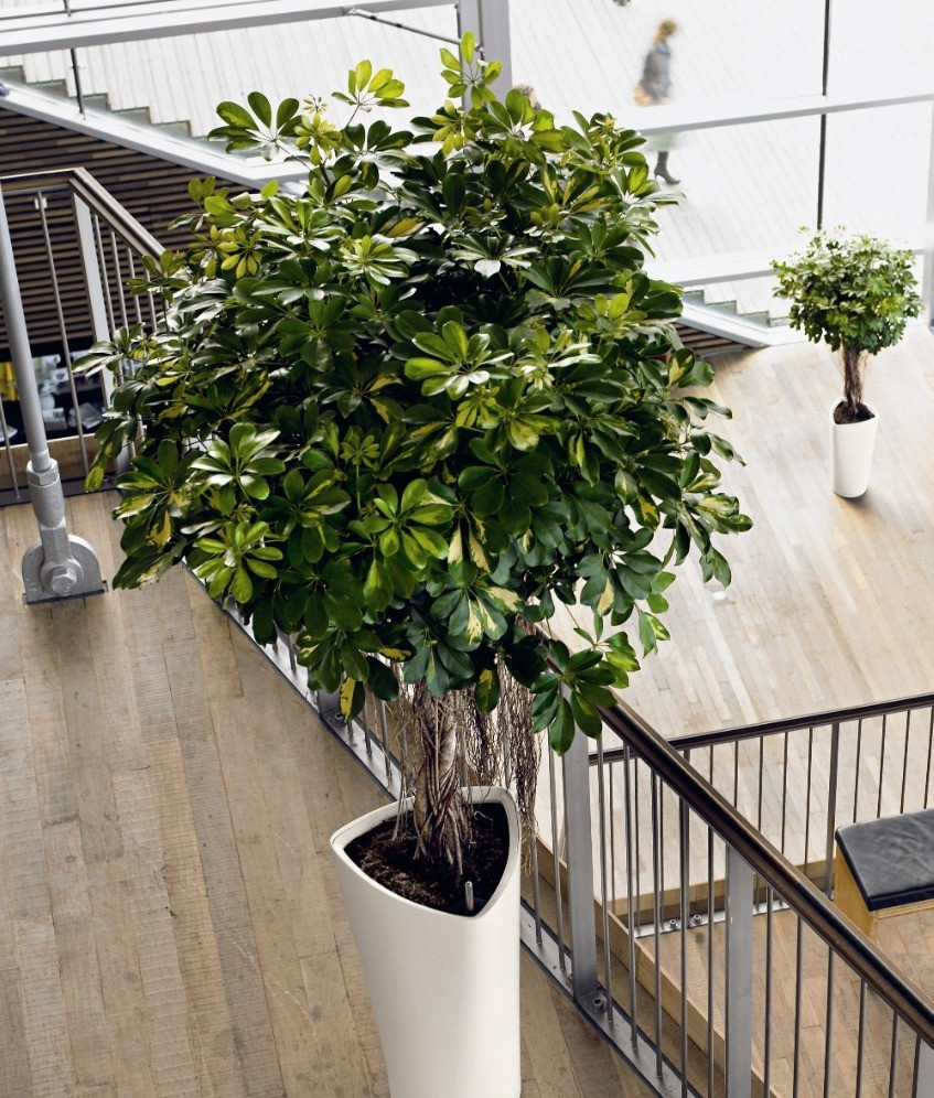 Shefflera Actinophylla, Umbrella Tree, Indoor Tree, Tropical Indoor Plant