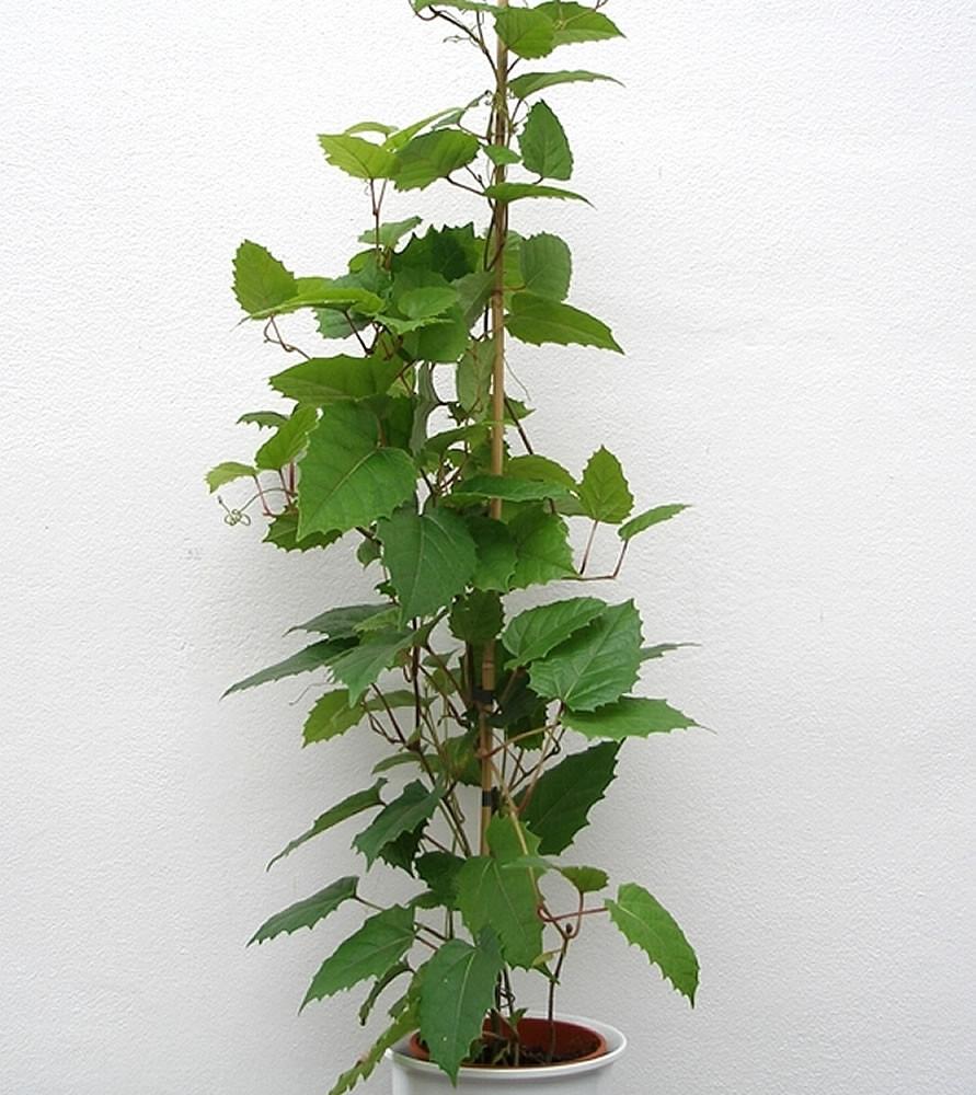 Indoor climbing plant, indoor climber, kangaroo vine, Cissus Antarctica