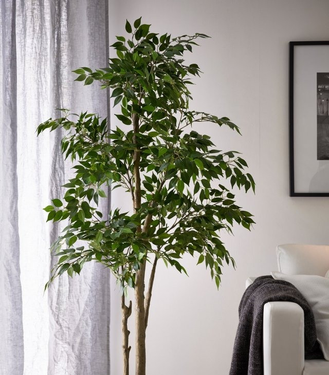Ficus Benjamina, Weeping Fig, Benjamin Fig, indoor tree