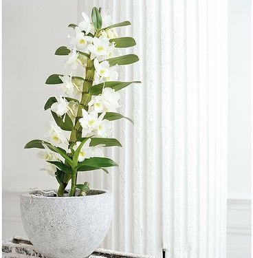 Dendrobium Orchids, Indoor flowering plant