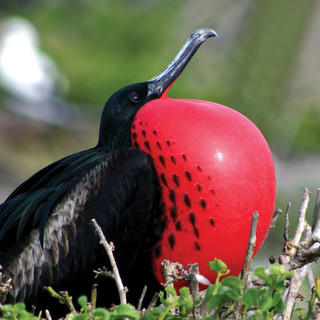 Frigate Bird, Barbuda