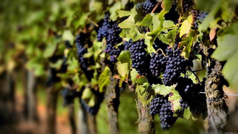 Uvas de Vinho