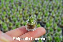 Rhipsails bunrchellii