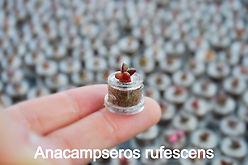 Anacampseros rufescens