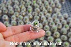 Rebutia minuscula k. sch