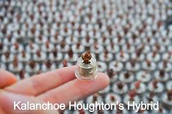 Kalanchoe Houghton's Hybrid