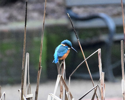 kingfisher at grosvenor,has been seen at