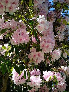 FODP FLOWERS RHODODENDRONS.jpg