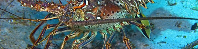caribbean-spiny-lobster.jpg
