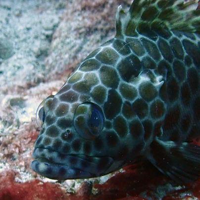 Honeycomb grouper fish