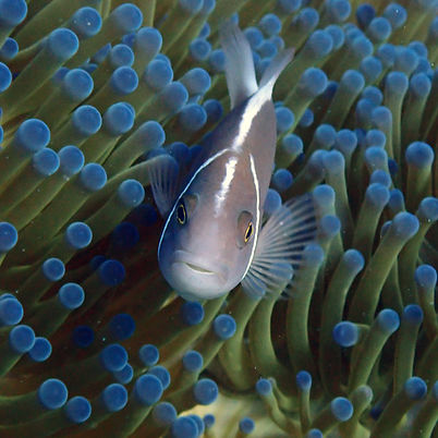 Pink Skunk Clownfish with a sea anemone