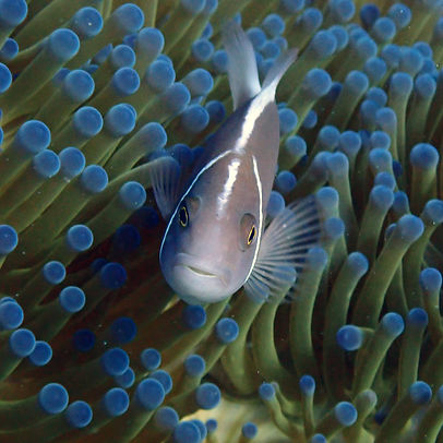 A Pink Skunk Clownfish in front of a sea anemone