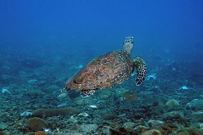 A Turtle pictured in Sai Daeng bay in koh Tao