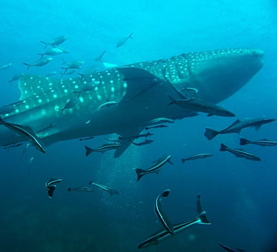 A Whale Shark in koh Tao