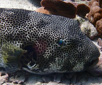 Stellate Pufferfish