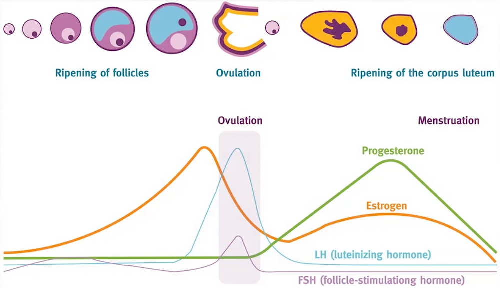 Menstrual cycle phases with hormones information to understand fertility and chances of pregnancy
