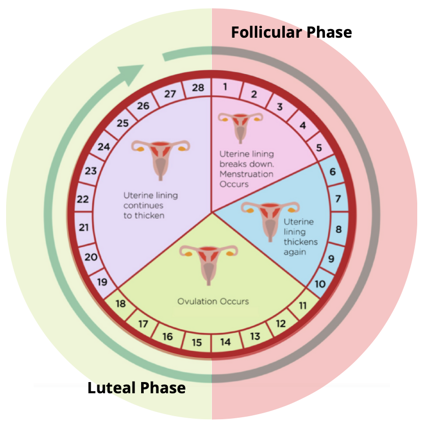 Menstrual cycle and phases to understand fertility