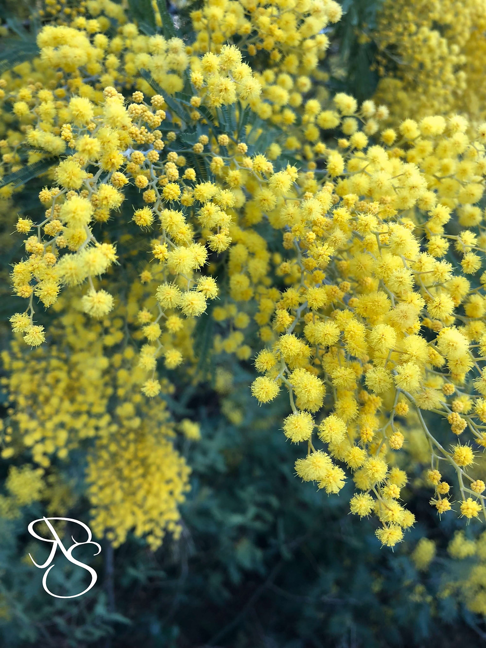 Mimosa Flower Festival French Riviera