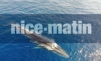 nice-matin whales