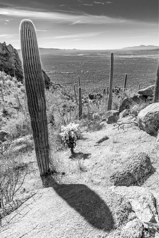 Afternoon Saguaro Shadows