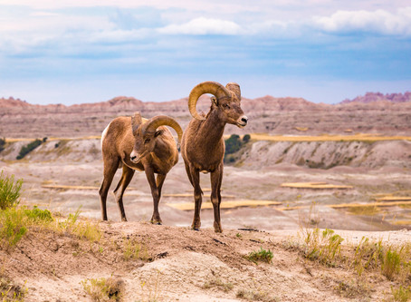"""""""Bachelors in the Badlands"""" - 1st Place Cochrane Ecological Institute Photo Competition 2017"""