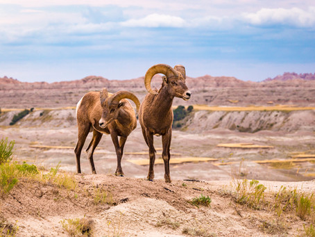"""Bachelors in the Badlands"" - 1st Place Cochrane Ecological Institute Photo Competition 2017"