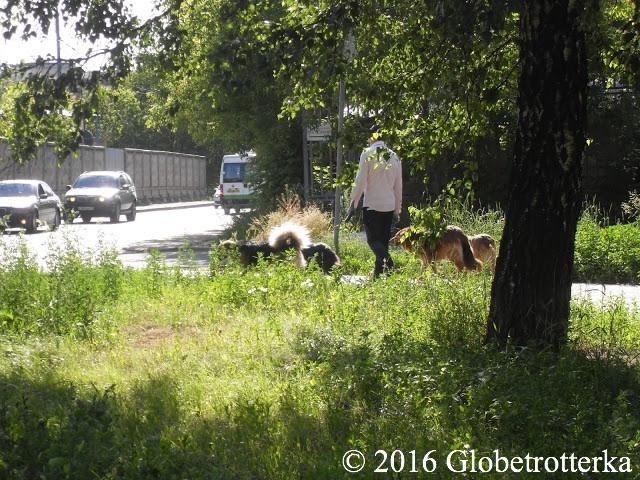 Un des employés du refuge revenant d'une promenade avec 4 chiens. © 2016 Globetrotterka