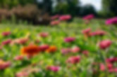 pink-delicate-flowers-of-zinnia-in-the-v