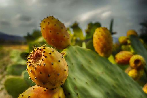 prickly-pears-3631115_1280-1080x718.jpg
