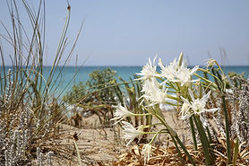 Giglio_delle_dune.jpg