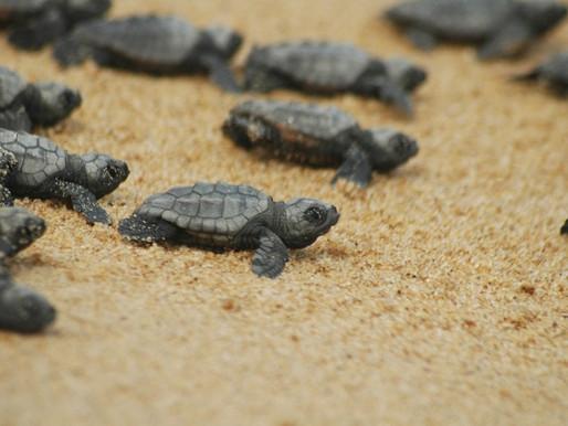 Tutela della biodiversità: la tartaruga caretta caretta